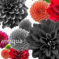 【楽天市場】antiqua:antiqua
